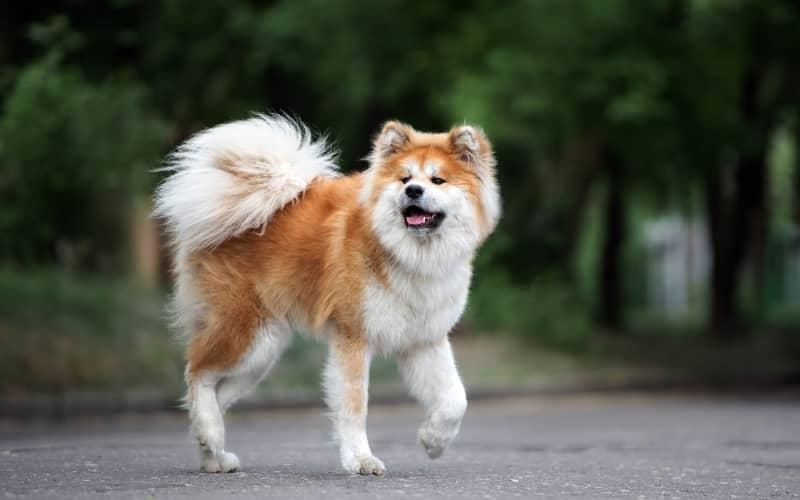 Akita Inu caminando en la calle