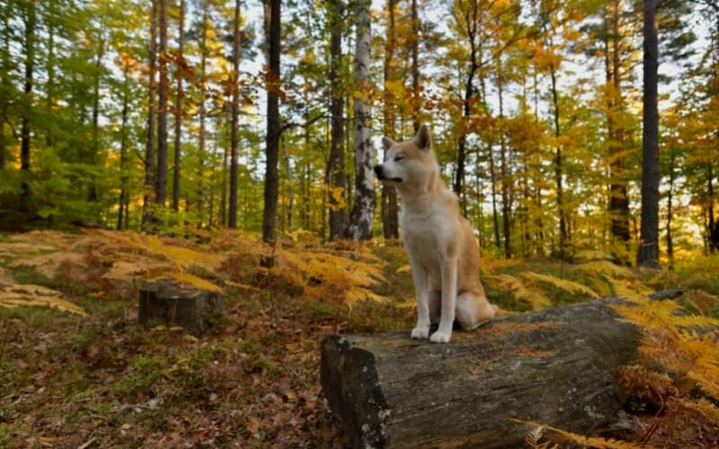 Akita Inu en el bosque