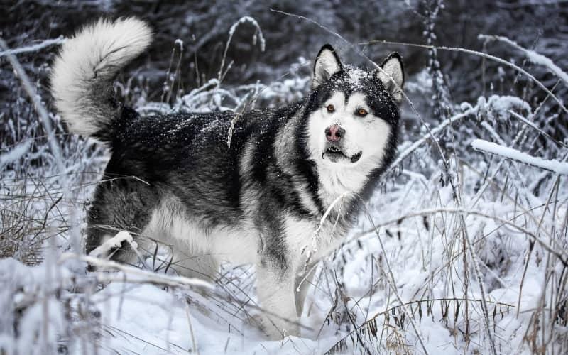 Alaska Malamute en el bosque