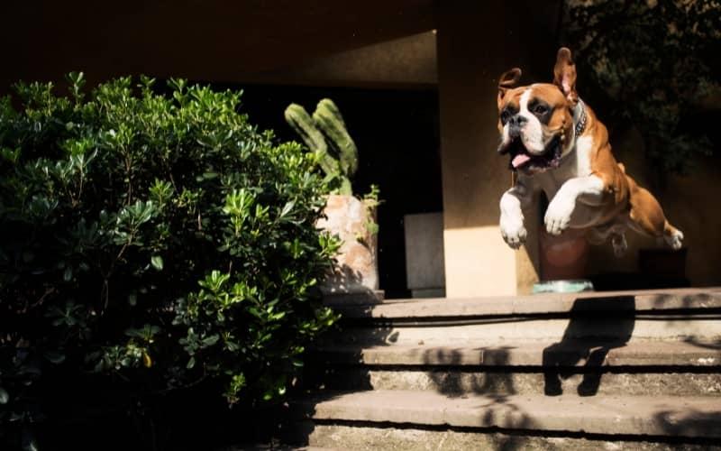 Boxer saltando una escalera
