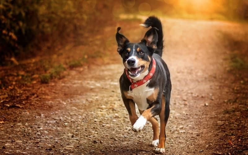 Boyero de Appenzell corriendo en una bonita foto