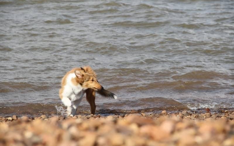 Cachorro Collie en la playa que admite mascotas