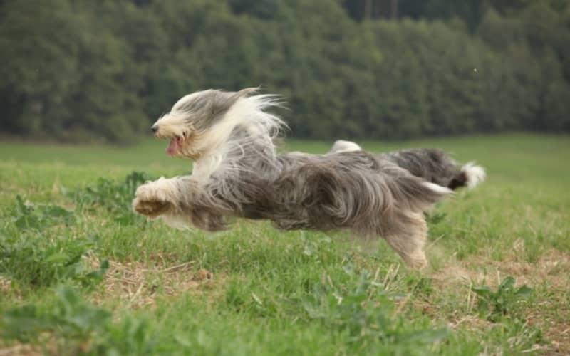 Collie Barbudo corriendo