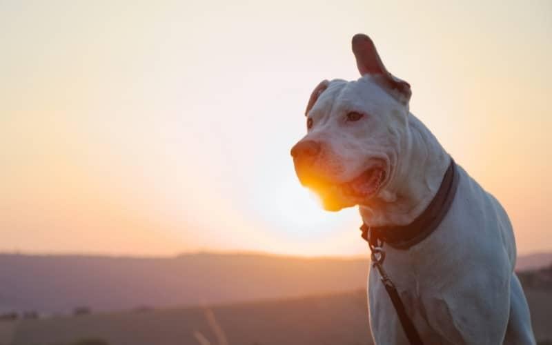 Dogo Argentino caracteristicas