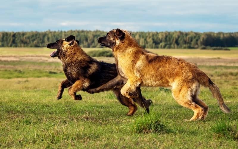Dos Leonberger corriendo en el campo