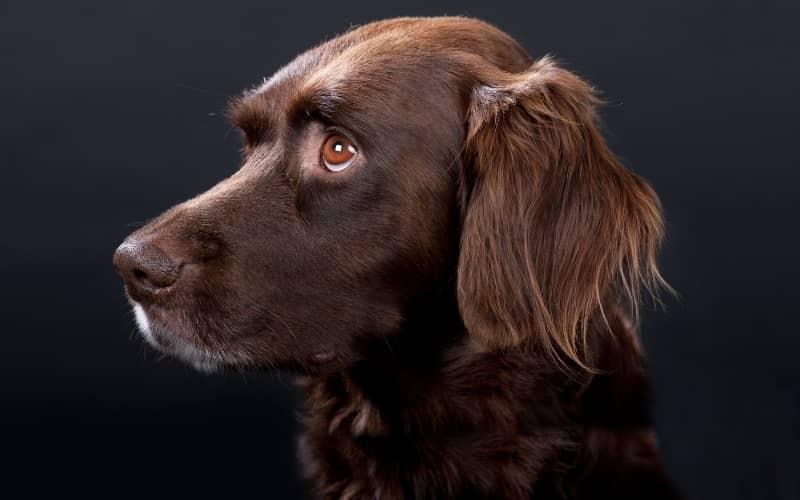 El Münsterländer pequeño Perro cazador