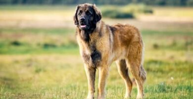 El la raza de perro Leonberger