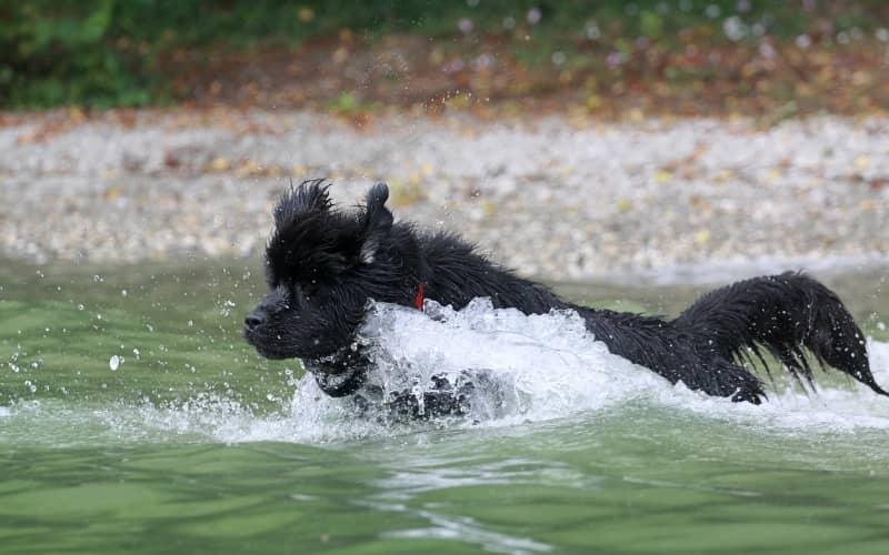 El perro terrenova en el agua nadando