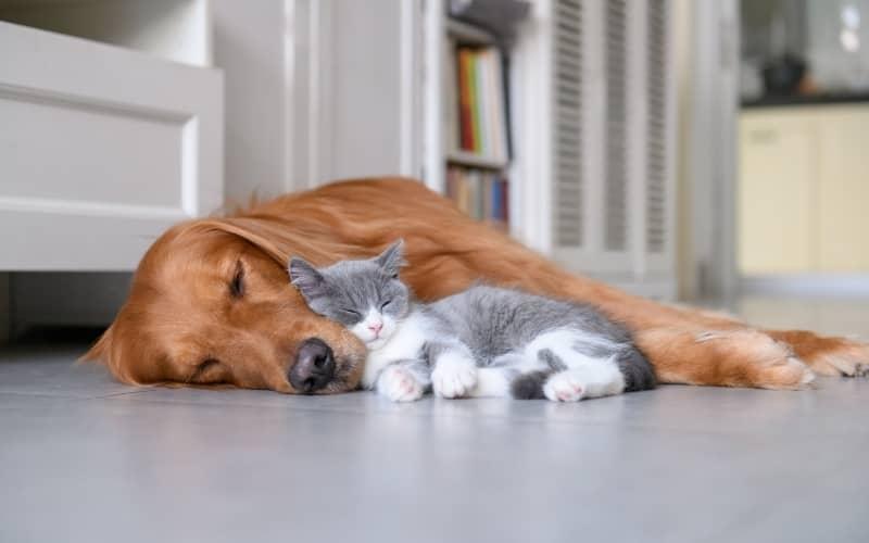 Golden Retriever con un gato durmiendo