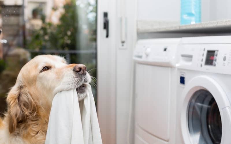 Golden Retriever lavando ropa