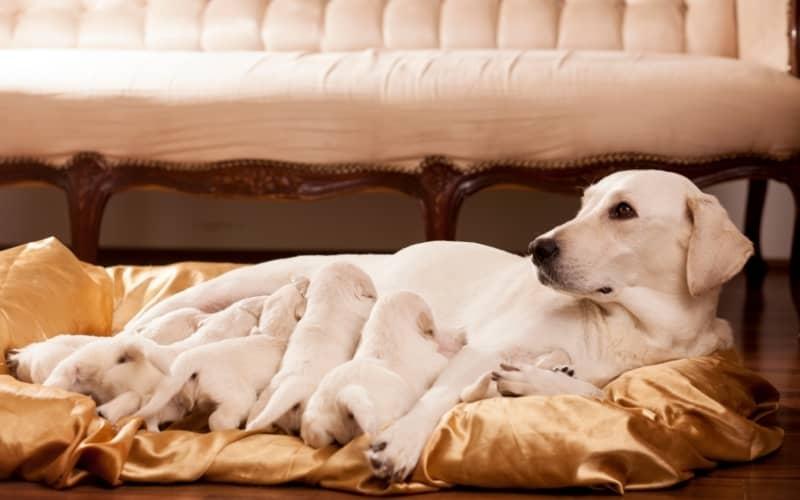 Labrador Retriever con sus cachorros