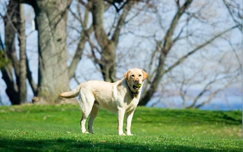Labrador Retriever con una pelota