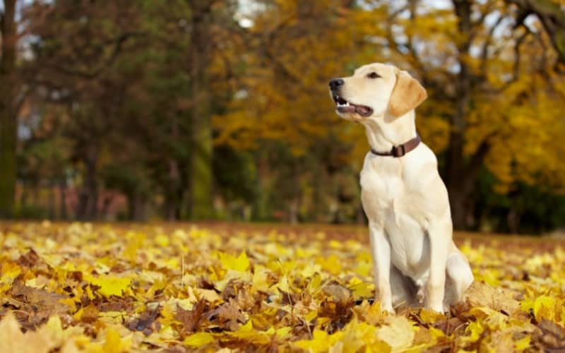 Labrador Retriever sus características físicas