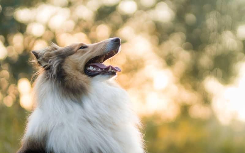 Lassie raza