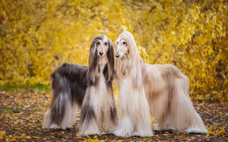 Los 2 Perros Galgo Afgano