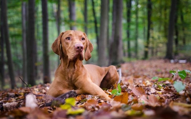 Magyar Vizsla sentado en el bosque