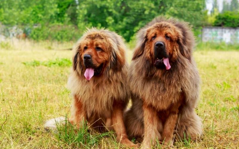 Mastín Tibetano con otro perro