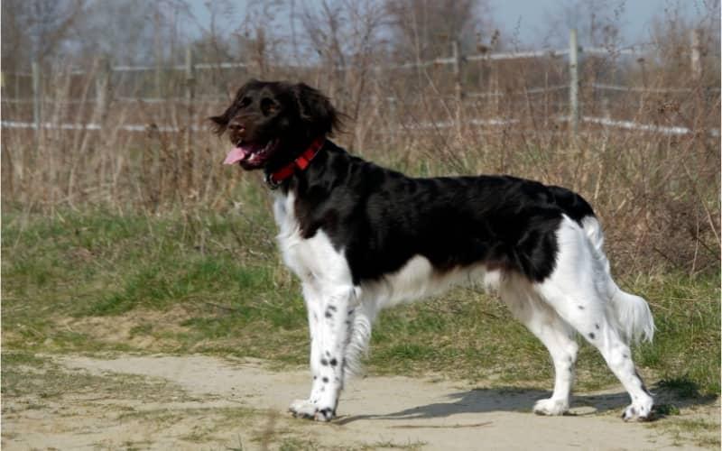 Münsterländer pequeño Perro