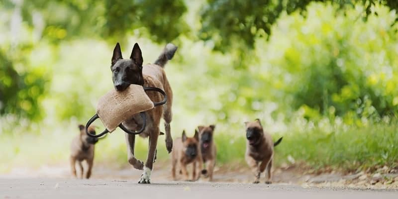 Pastor Belga con sus Cachorros