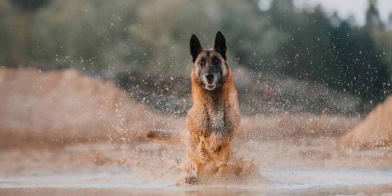 Pastor Belga corriendo en el agua