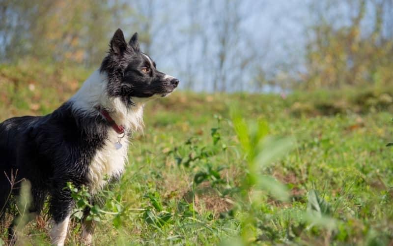 Perfil del perro Border Collie