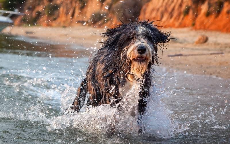 Perro Collie Barbudo adentro del agua