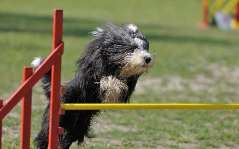 Perro Collie Barbudo saltando