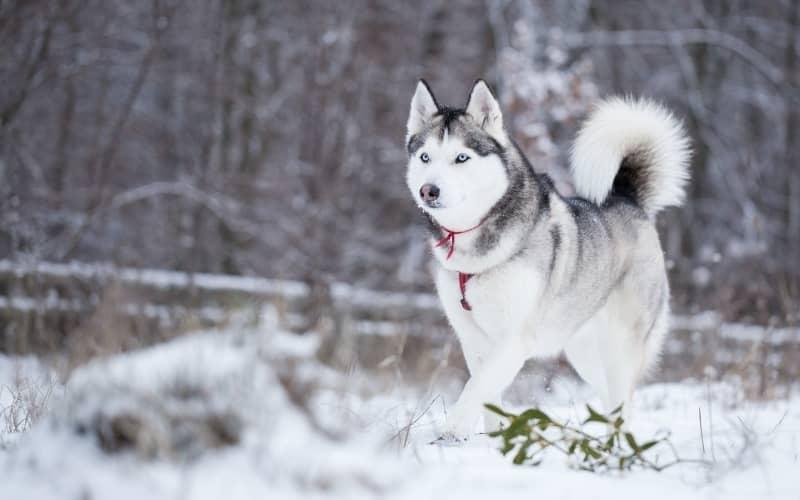 Perro Husky Siberiano en el bosque