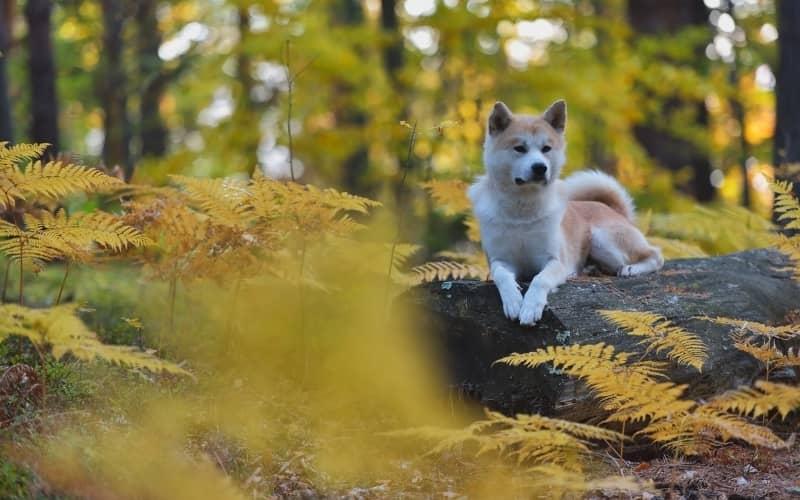 Perro Japones sentado en una piedra