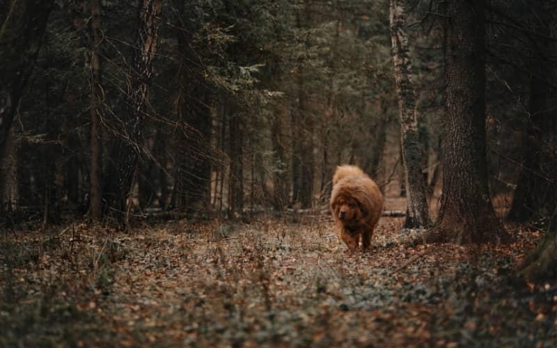 Perro Mastín Tibetano en el bosque