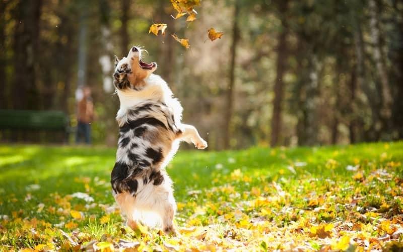Perro Pastor Australiano Ovejero jugando