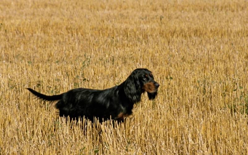 Perro cazador Gordon Setter