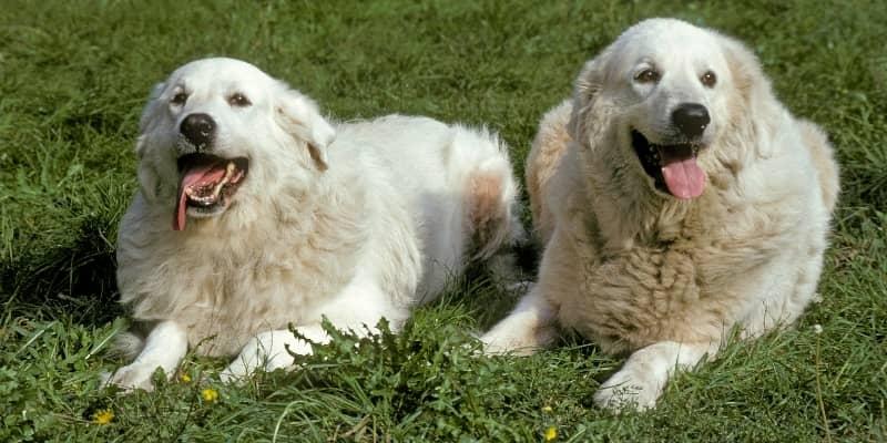 Perros de Montañas de los Pirineos parejas