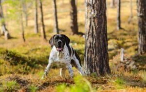 Pointer Inglés perro cazador