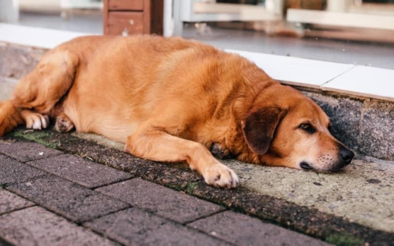 Sintomas de la Osteoartritis en perros