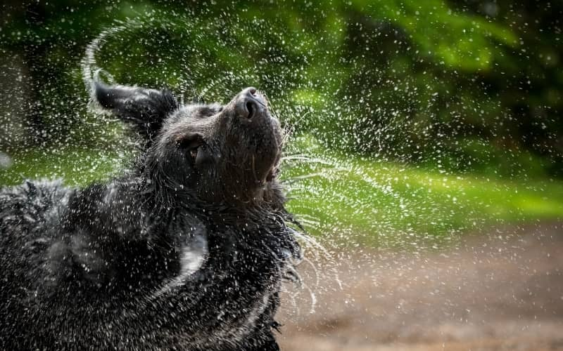Perro Terranova en el agua