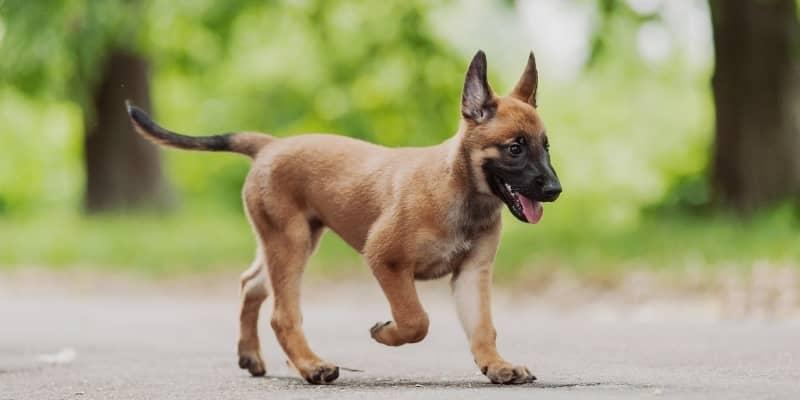 Un Pastor Belga cachorro