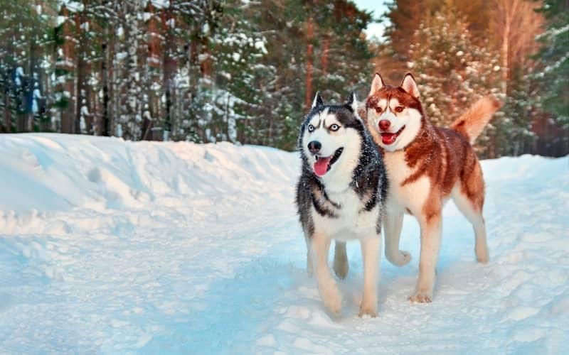 Dos Perro Husky Siberiano jugando