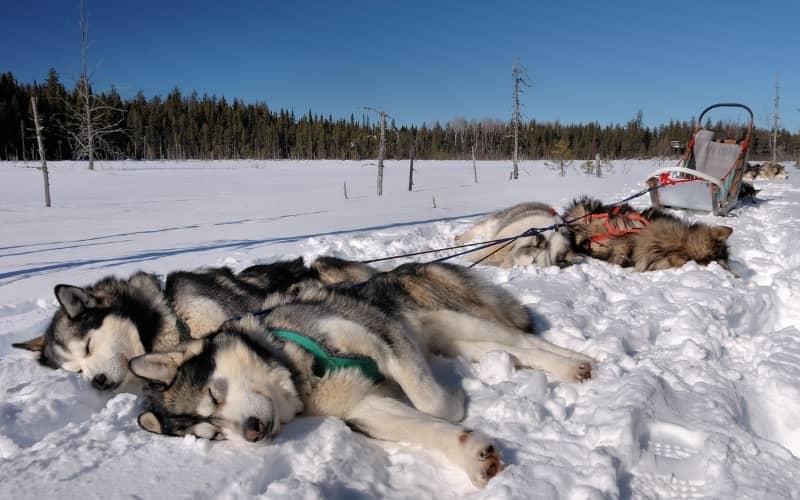 Perros de Alaska Malamute