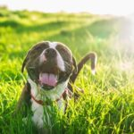 Un perro de Presa feliz
